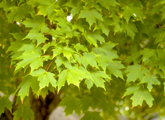 Maple,-Sugar-Leaf