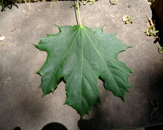Maple,-Sycamore-Leaf-web