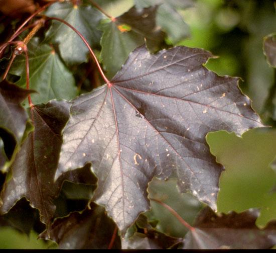 Maple,Schwedler-Leaf