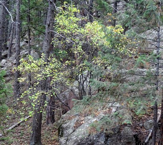 Rocky-Mountain-Maple