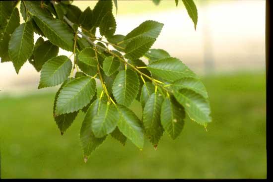 Elm,-Siberian-Leaves