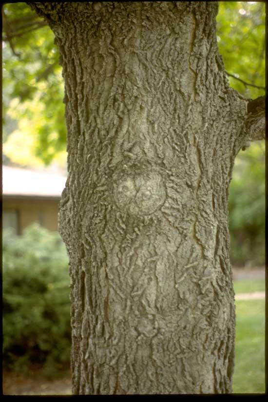 Hackberry-Bark