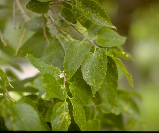 Hackberry-Leaves