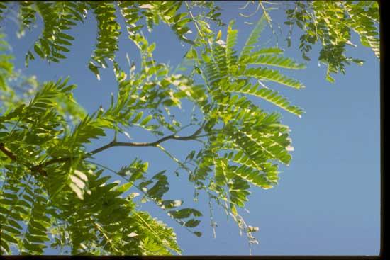 Honeylocust-Leaves