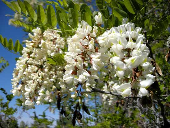 Locust,-Black-Blossoms