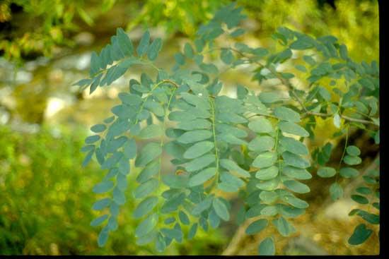 Locust-black-Leaves