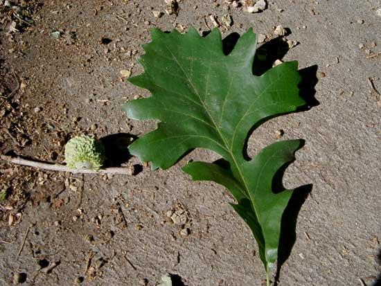 Burr Oak-leaf-and-acorn