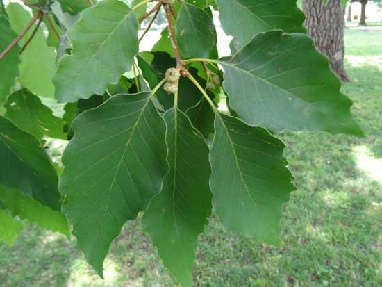 Chestnut Oak Leaves-and-acorns