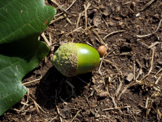 Chestnut Oak acorn