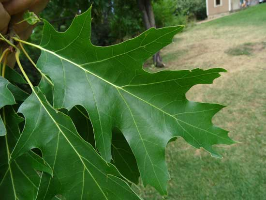 Red Oak-Leaf