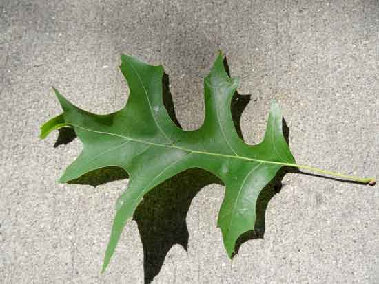 Shumard Oak Leaf