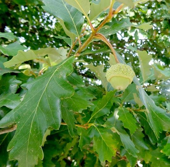 Swamp White Oak Acorn