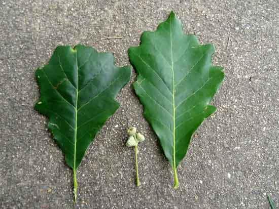 swamp White Oak Leaves-and-Acorns