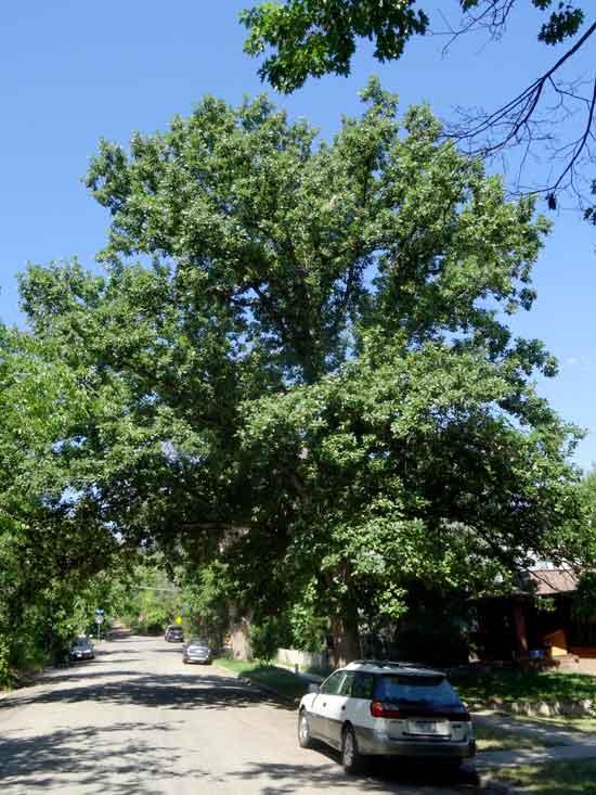 Swamp White Oak