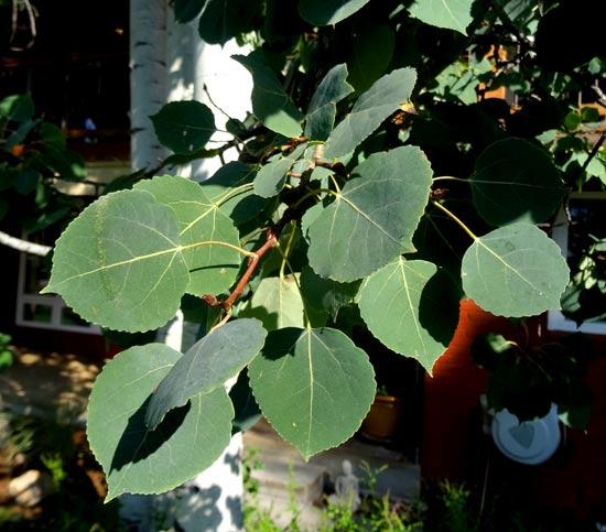 Aspen-Leaves-web
