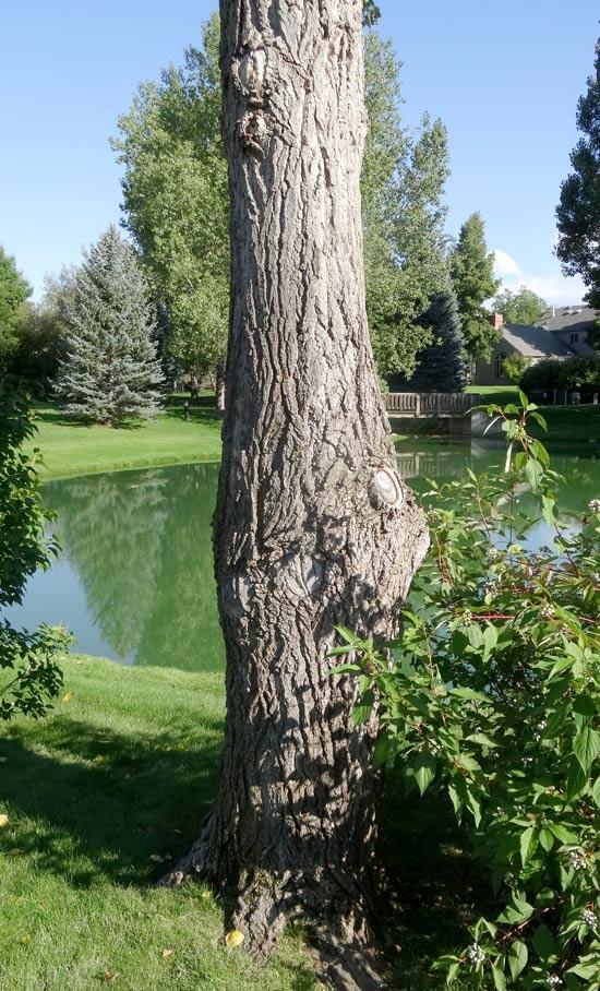 Cottonwood,-Eastern-bark-web