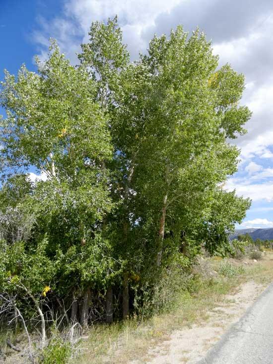 cottonwood-narrowleaf-web