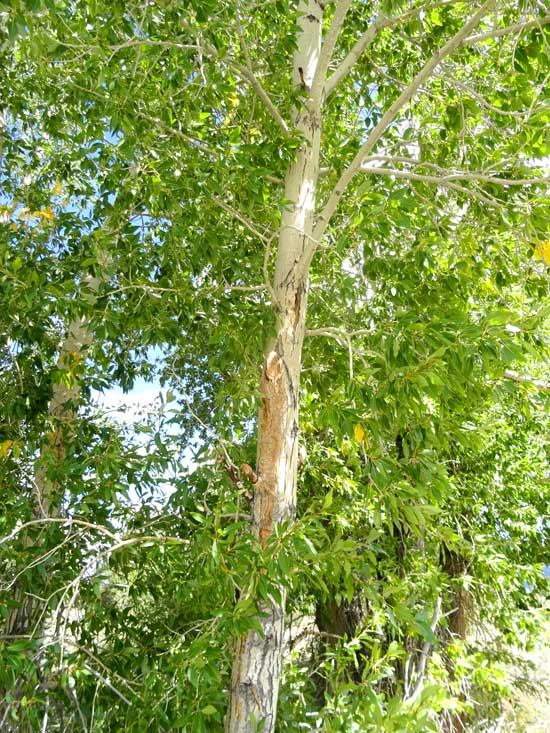 cottonwood-narrowleaf-younger-bark-web