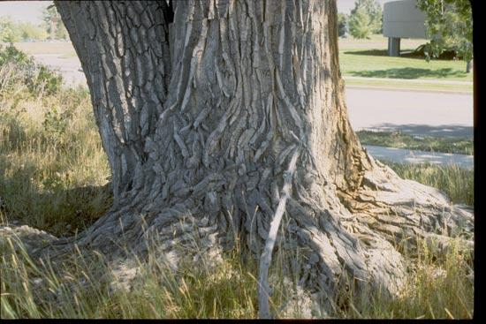 Cottonwood,-Plains-Bark