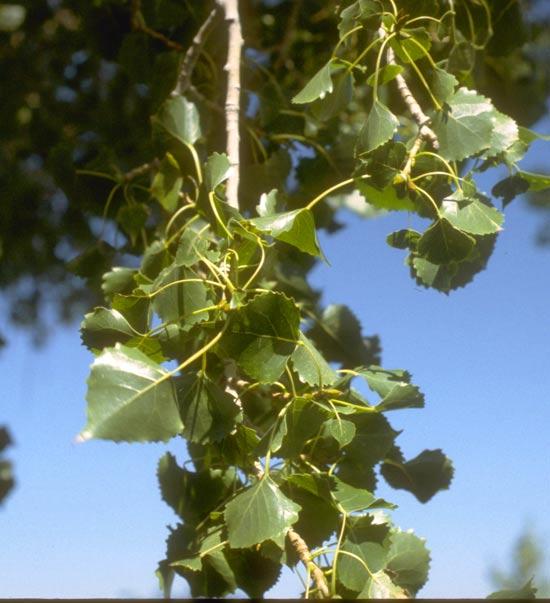 Cottonwood,-Plains-Leaves