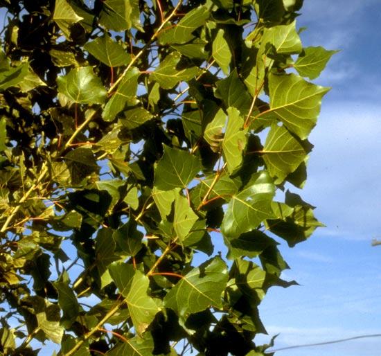 Poplar,-Lombardi-Leaves-web