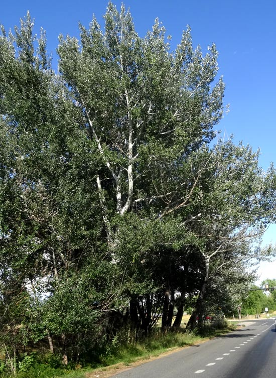 Poplar,-White-web