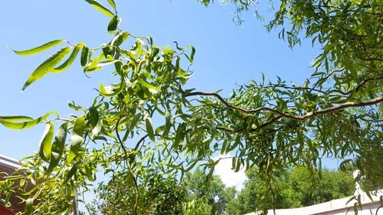 willow-corkscrew-twigs-and-foliage-web