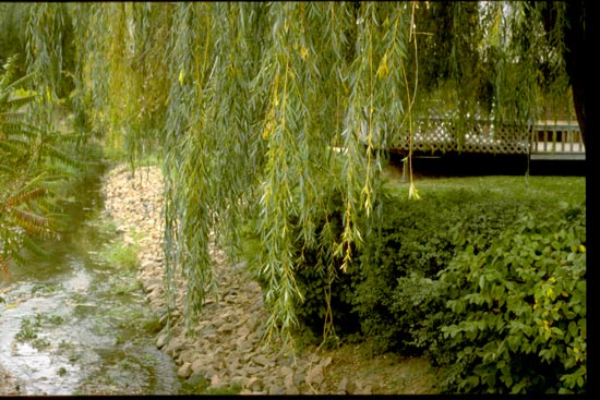 Willow,-Weeping-Foliage-web