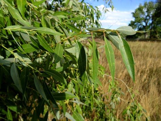 willow-peach-leaf-leaves-web