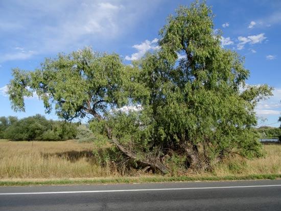 willow-peach-leaf-web