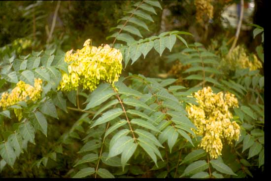 ailanthus-foliage-and-seeds-web-jpg