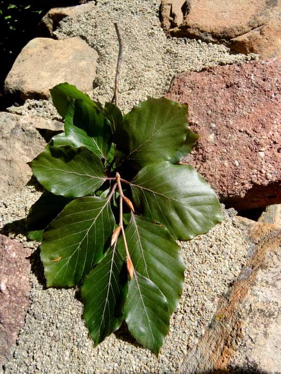 beech-copper-leaves-web