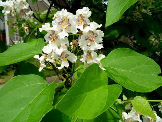 catalpa-flowers-web