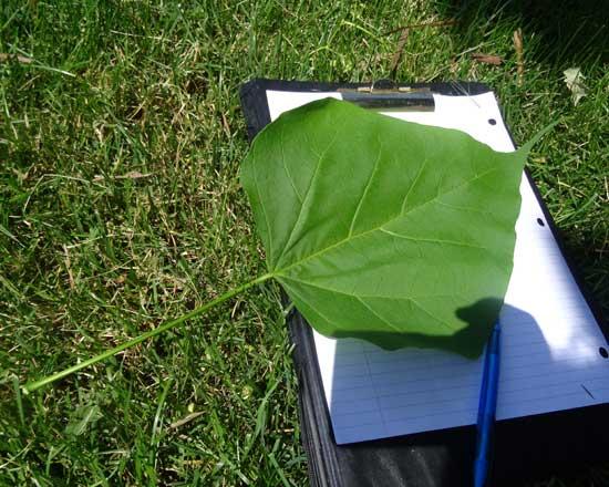 catalpa-leaf-web