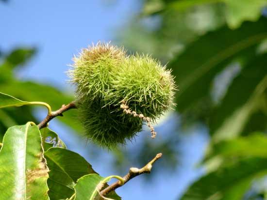chestnut-fruit-green-webjpg