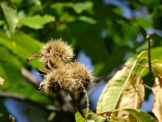 chestnut-fruitdry-web