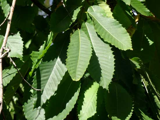 chestnut-leaves-web