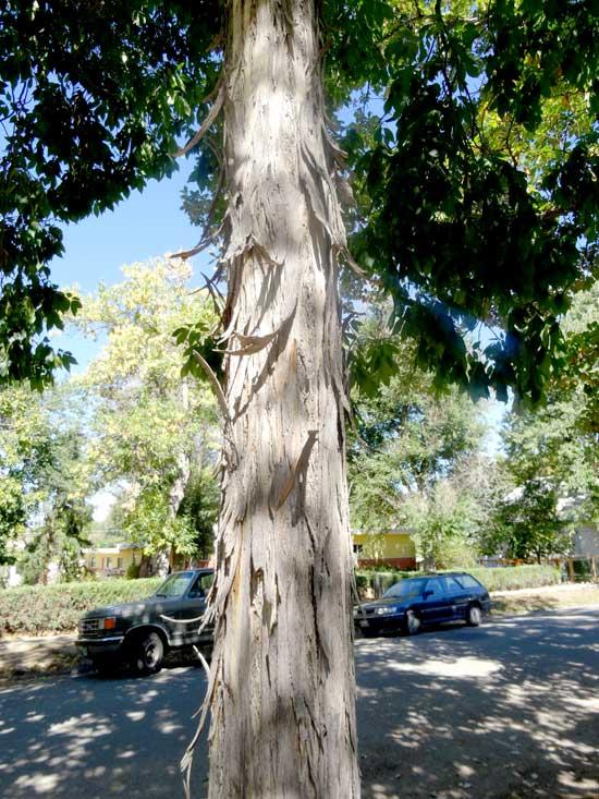 hickory-shagbark-trunk-web