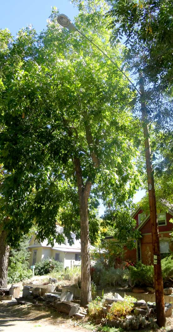 trees with large compound leaves boulder tree