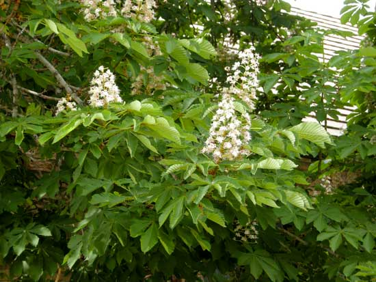 horsechestnut-flowers-web