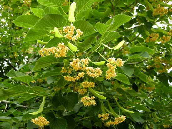 linden-little-leaf-flowers-web