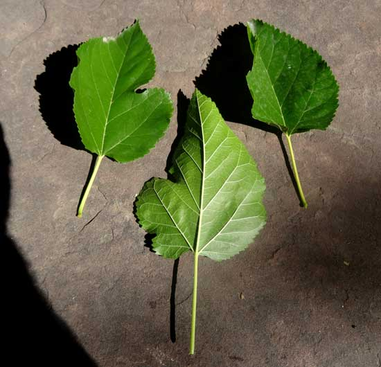 mulberry-leaves-web