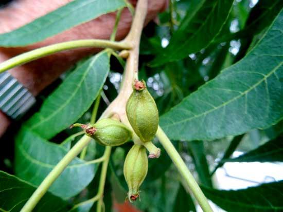pecan-fruit-web