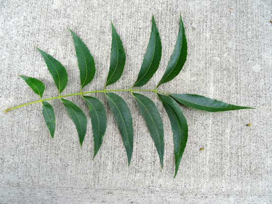 pecan-leaf-web