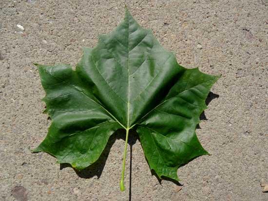 sycamore-leaf-web