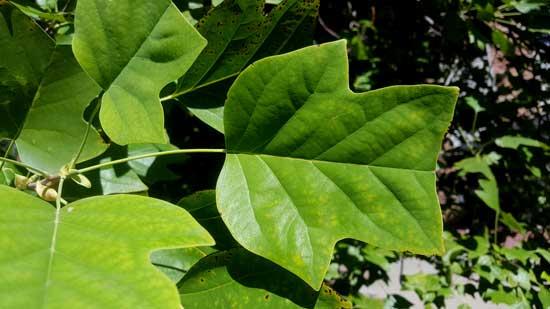 tulip-tree-leaf-web
