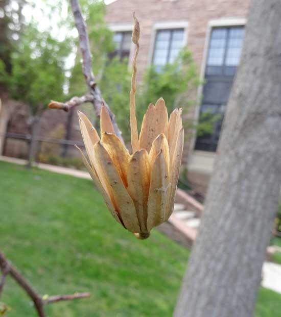 tuliptree-flower-dry-web