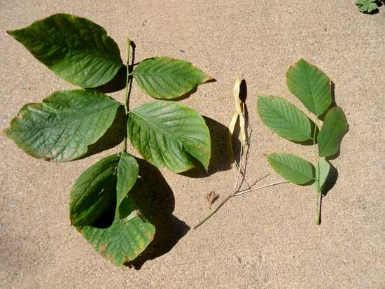 yellowwood-leaf-web