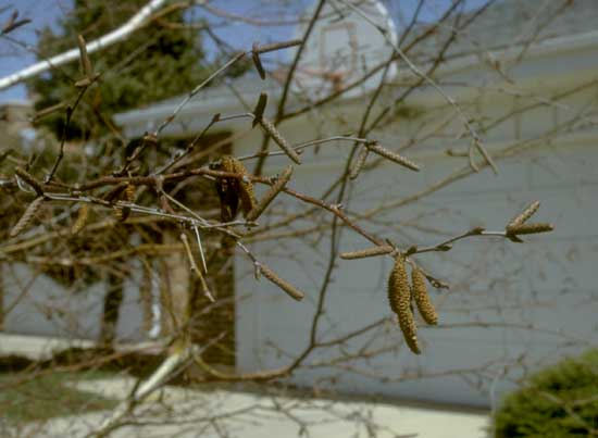 birch-catkins-web-copy