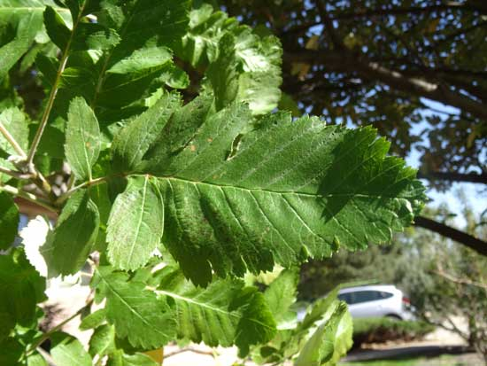mountain-ash-oak-leaf-leaf-web